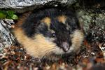 Lemming (Lemmus lemmus)